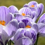Suplementos de Azafrán para calmar los síntomas de la Perimenopausia